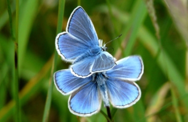Common blue male butterflies